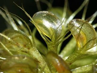 【食虫植物】0.01秒で虫の命を奪う―アルドロバンダ ベシキュロサ、恐怖の生態