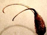 「悪魔の爪」と呼ばれた食虫植物たち、その殺傷力ーイビセラ・ルテア、プロボスキディア
