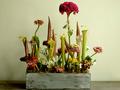 個性派食虫植物・サラセニアの切り葉 ― 独特の世界観で人気上昇中