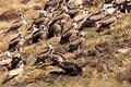 【動画】死体を狙う大量のハゲワシ、餌になる肉体 チベット「鳥葬」という風習