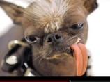 """どう見てもETかヨーダ! """"世界一醜い犬""""が8歳で天に召される"""