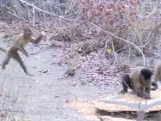 【世界初】猿のツンデレ行動を捉えた映像! 異性を誘惑する甘酸っぱい姿とは?