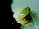 カメムシを生で食べてみた!! 食感はメントス、味は…? ~ハードル高めの昆虫食~