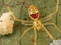 不気味に嗤う蜘蛛「ニコヤカヒメグモ」 5ミリの誘惑とは?
