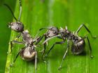【昆虫チョコレート】蟻入りバレンタインチョコで、気になる彼をゲット! 媚薬効果も!?