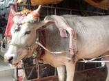肩から「5本目の足」が生えた牛!! 飼い主とインド全土を巡る旅に出た意外な理由とは……!?