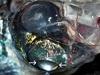 【新種】4つの目と360°の視界を持つ魚「グラスヘッド・バレルアイ」!! 地球上の生物とは思えない衝撃的姿!!