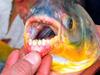 睾丸切り魚「PACU」が大量流出!? 人間と似た歯で噛みつく恐怖の淡水魚