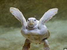 白いアカウミガメ!? 神秘的な、アルビノの亀の子供!!
