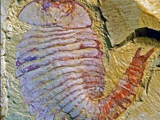 """【【古代生物】5億2千万年の""""奇跡の化石""""! どんな生物でどんな細胞組織を持っていたのか?"""