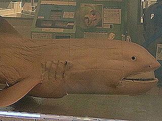 【緊急】6月14日までに大地震!? 静岡に出現した深海ザメ「メガマウス」は、大地震の前兆だった!!【前例多数】
