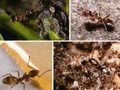 """""""食えるものなら何でも食う""""驚怖の侵略生物が日本を襲う!!  「アルゼンチンアリ」が生態系を破壊、経済に大打撃!?"""
