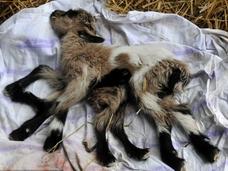 8本足の仔ヤギ、しかも両性具有!! 「自然の奇跡」が神秘的!