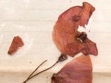 第一次世界大戦中に出された恋文が発見! 同封されたポピーに愛と平和を込めて