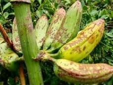 バナナが食卓から消える日…迫りくる危機を乗り越えられるか!?