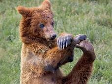 ヨガする熊 「完全に熟練者の動き」でインストラクターも驚愕!!=スペイン