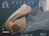メキシコ湾に現れた謎の生物、「胎盤クラゲ」の姿がヤバい!!