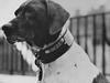 """軍艦任務から日本軍捕虜キャンプを生き延びた軍用犬""""ジュディ""""の感動ストーリー"""