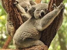 【自然の驚異】コアラが木に抱っこする理由がついに判明!! 可愛さアピールではなかった!