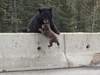 【動画】危機一髪! 感動の親熊の愛! 子熊救出作戦=カナダ