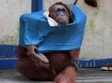 頭良すぎる類人猿!?  ポロシャツを着こなすお洒落なオランウータン!