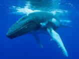 日本の捕鯨禁止の謎 ― なぜ、欧米は理不尽に日本の捕鯨を厳しく取り締まるのか?