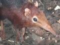 遺伝子学的にはゾウに近い新種ネズミ!?  不思議な珍獣「ゾウトガリネズミ」発見される
