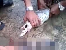 【動画】ヘビの胃袋を絞り出してみたら? 丸呑みされた獲物たちが次々と…戦慄の光景!
