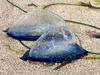 まるでガラス細工! 海岸に漂着する謎の生物「カツオノカンムリ」が美しすぎる!