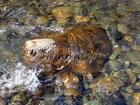 古代の巨大爬虫類型モンスターの頭がシベリアの川で発見される!? 1億5,000万年前の恐竜か?