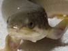 【進化の謎】8カ月間の訓練で魚が陸上歩行!? 水中から陸上生活に移行するプロセスが実験で明らかに!!