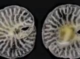 謎の深海生物「エイリアン・マッシュルーム」が遂に新種認定! 種の系統樹覆す可能性も