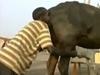 メス牛のアソコに空気を吹き込むと牛乳がよく出る!? 紀元前から伝わる搾乳の秘伝