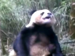 【動画】自慰行為中のパンダが見せる恍惚とした表情を、とくとご覧あれ!