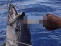 ツノが生えたマグロ「ツニコーン」が釣れた!? しかし、直後に悲劇が……。