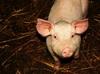 中国 2歳男児が豚に食われる ― 牙を剥いたら怖い、養豚の実態!