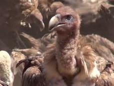 【超・閲覧注意】血に染まるチベットの鳥葬 ― 大量のハゲワシが遺体をついばむ衝撃的光景
