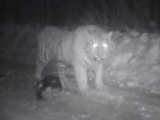 【動画】プーチン大統領が放ったトラが中国で大暴れ!! 犬を貪り食う