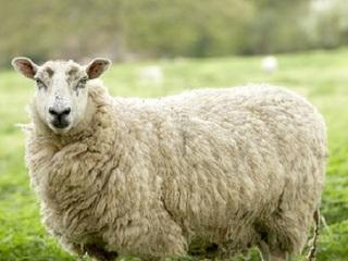 年賀状の「羊」の顔で2015年の運勢がわかる!? 極秘の「羊の呪い占い」