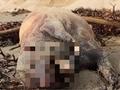 チュパカブラか? カリフォルニアの浜辺に謎の巨大牙を持った生物の死体が漂着!