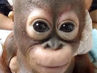 【虐待されていたオランウータンの赤ちゃん!! 必死に生きる姿に世界が涙