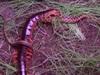 【閲覧注意】巨大毒ムカデとヘビの死闘!! 捕食シーンがグロすぎる