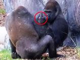 【衝撃動画】中指を立ててケンカを売るゴリラが激写される!!