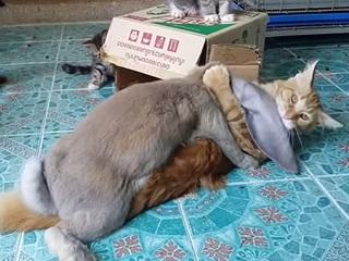 【衝撃動画】ウサギがネコをレイプ!? やはりUMA「キャビット」は存在するのか?