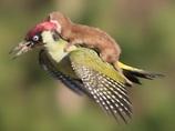 【奇跡の瞬間】鳥の背中に乗って空を飛ぶイタチが可愛すぎる!!