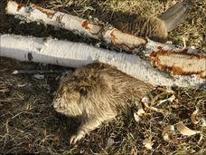 ビーバーが自分で伐り倒した樹で圧死!! 現役の木こりに見解を聞いたところ…