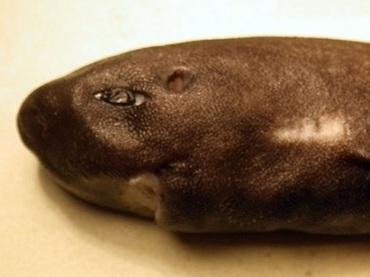 """史上2匹目!! 36年ぶりに確認された「フクロザメ」の謎多き生態と""""可愛すぎる""""姿とは!?"""
