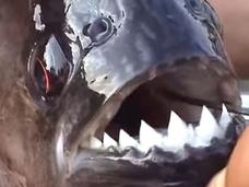 """【衝撃動画】アマゾンの""""生きた凶器""""が大暴れ!? ピラニアの食欲旺盛さに戦慄!!"""