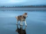 湖の水面を歩くハスキー犬! 世界中に拡散された奇跡の写真