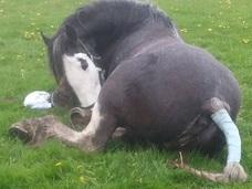 棒が局部を貫通…性的虐待を受けた牝馬!